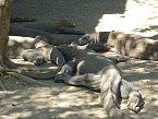 Domestikovaná smečka přežraných varanů komodských