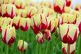 V Keukenhofu uvidíte mnoho druhů tulipánů.