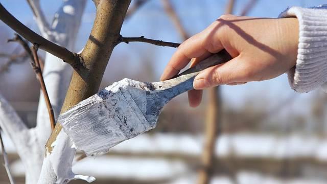 Ochrana stromů v zimě