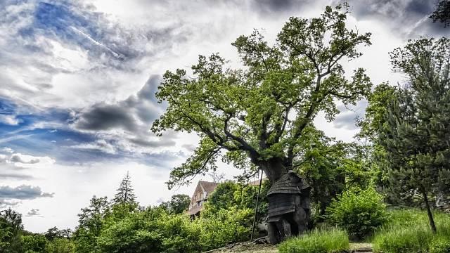 Žižkův dub, Foto: Marek Olbrzymek