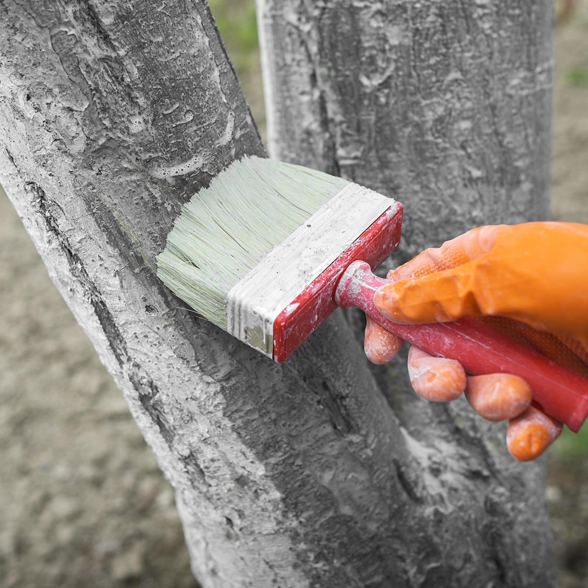 Побелка деревьев своими руками
