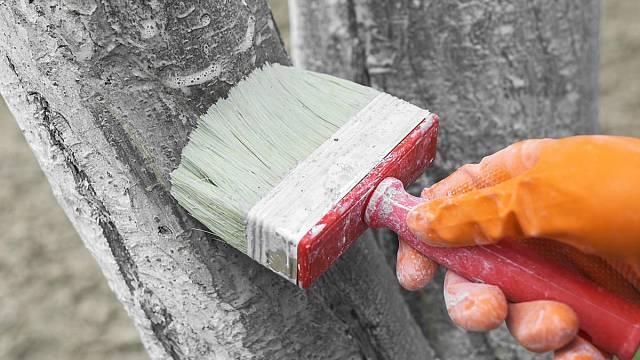 Bělením stromů se pomůže i k ochraně proti škůdcům