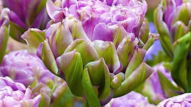 Tulipán Violet Panaa