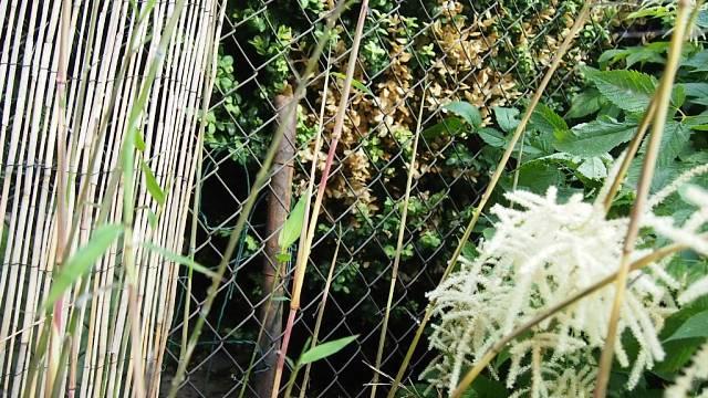 Bambusy nezmrzly 1