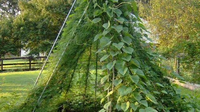 Týpí se dá obehnat rychle rostoucím hráškem nebo fazolkami.