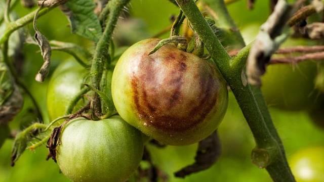 Plíseň rajčat