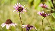 Třapatky (Echinacea) jsou nenáročné trvalky v různých odstínech karmínové, růžové i bílé barvy