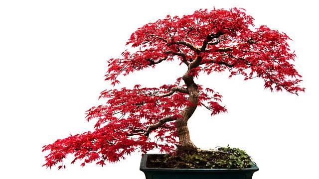 Listnaté bonsaje jsou velmi půvabné tím, jak jejich listy mění v ročních obdobích barvu.