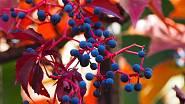Plody jsou pro člověka mírně jedovaté, ale ptákům chutnají.