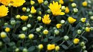 Rozkvétajcí chryzantéma