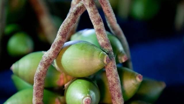 Betelové plody