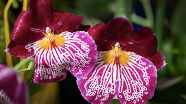 Orchideje hrají různými barvami.
