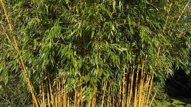 Živý plot může být i z bambusu.