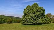 V přírodě nás ohromují monumentální stromy.