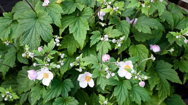 Encyklopedie rostlin: Sasanky 1