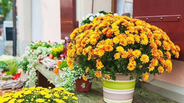 Chryzantémy dokáží oživit každou terasu
