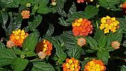 Libora měňavá (Lantana camara)