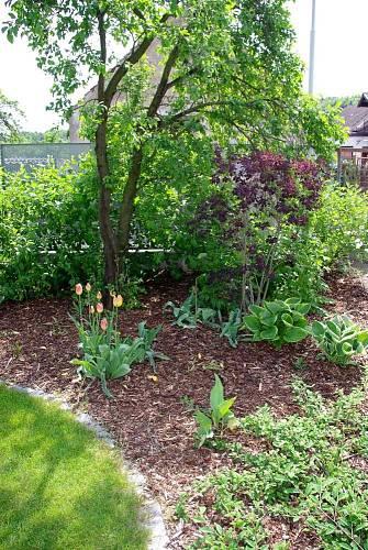 Až se rozroste živý plot, sebere téměř veškeré sluneční paprsky tomuto koutku – bohyškám (Hosta), čemeřici (Helleborus) ani dříve na jaře kvetoucím tulipánům to však nevadí.