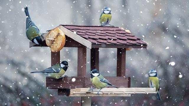 krmeni ptaku v zime