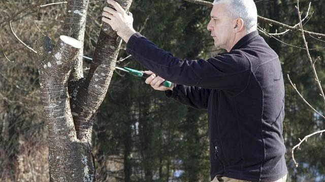Radikální řez může stromu výrazně pomoct a omadit ho
