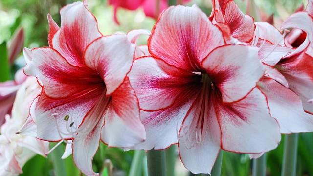 vanocni kvetiny