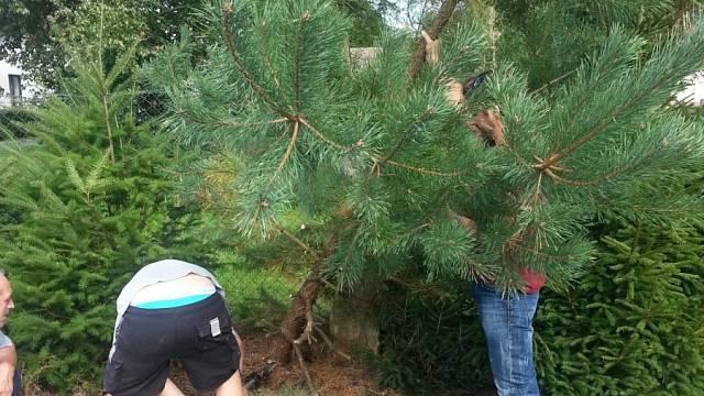 Kácení přerostlého stromu