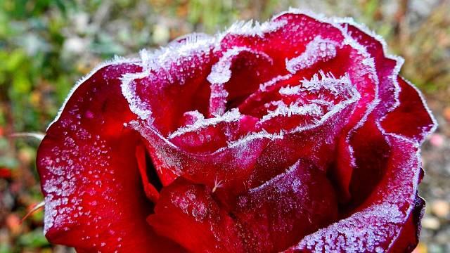 Růže v zimě