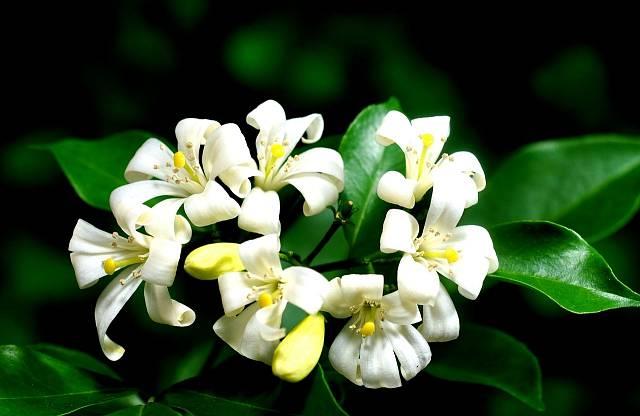 Pomerančový jasmín neboli Murraya paniculata vyžaduje teplé místo, pak krásně kvete.