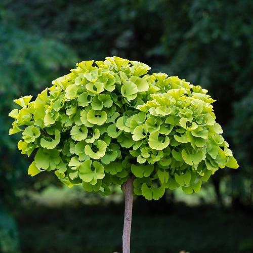 Mladý stromek s kulovitou korunou