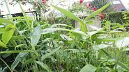 Bambusy nezmrzly 5