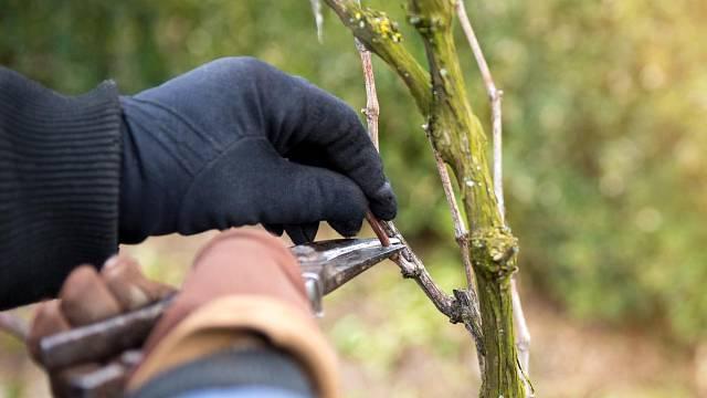 Víno se musí pravidelně sestřihávat