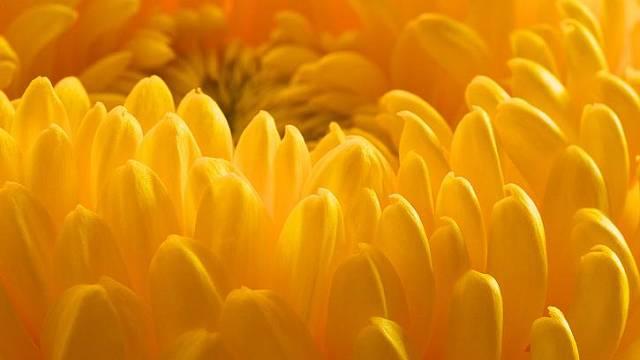 Poupě žluté chryzantémy.