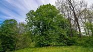 Než vyroste ta vaše, obdivuje například Běleňskou lípu v zapomenuté osadě jižních Čech.