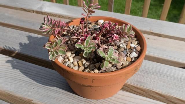 Rozchodník Sedum spurium 'Tricolor'