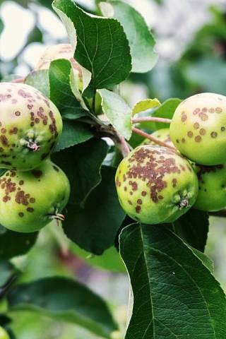 choroby ovocnych stromu