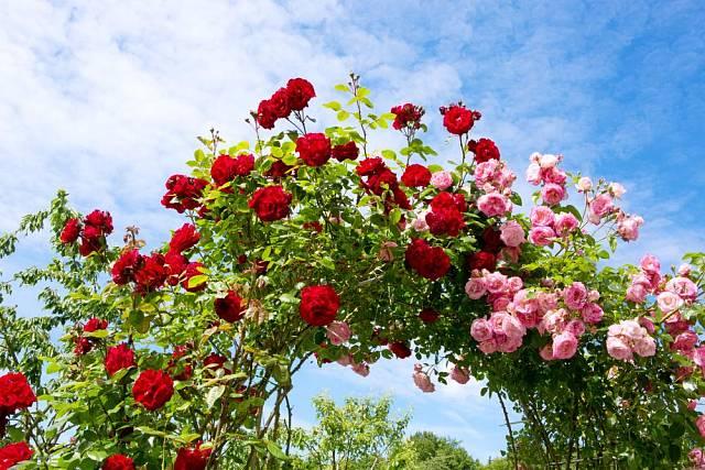 S růžovým loubím si budete připadat jak v zámeckém parku.