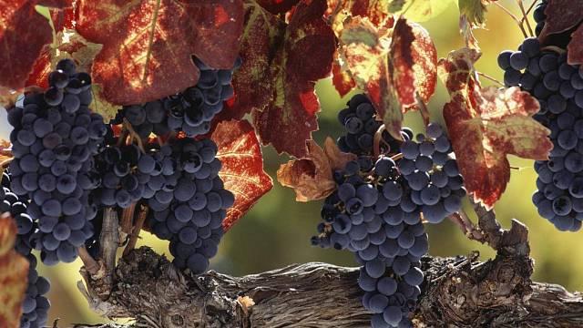 Vinná réva na podzim krásně zbarvuje listy a hlavně je možné sklízet zralé hrozny.