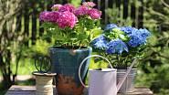 Půvabné keře můžete pěstovat také v nádobách.
