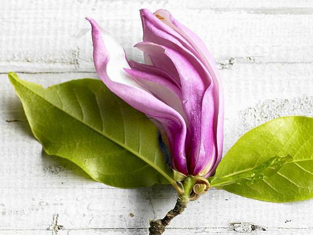 Magnolie byly dlouho známé a pěstované v Číně. První odkazy na jejich léčivé vlastnosti jsou z roku 1083.