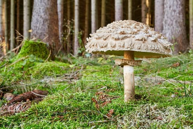 Bedla šedohnědá má hrubě vláknité šupiny na klobouku, její dužina se při řezu či otlaku zbarvuje a ke konzumaci se nehodí.