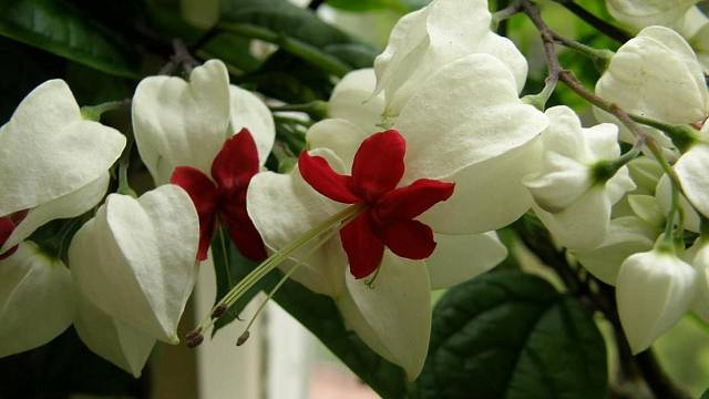 Blahokeř Thomsonové (www.rostliny.net)