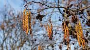 K alergenním rostlinám patří také raně kvetoucí olše.