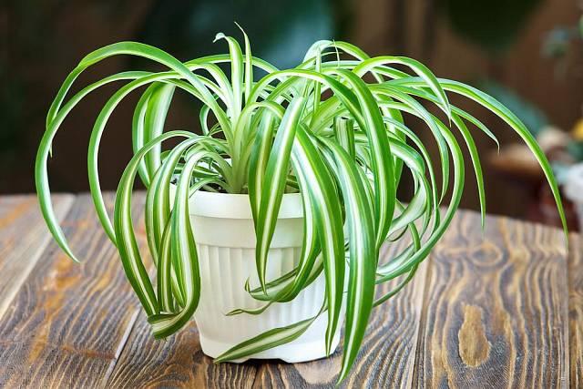 Zelenec je nejen pěkný na pohled, ale také čistí vzduch.
