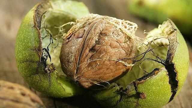 Encyklopedie rostlin: Vlašský ořech