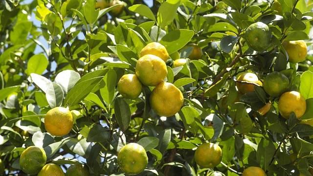 citrusovniky