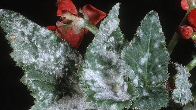 Begonia napadená padlím