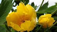Pivoňka žlutá (Paeonia lutea) patří mezi dřevité odrůdy.