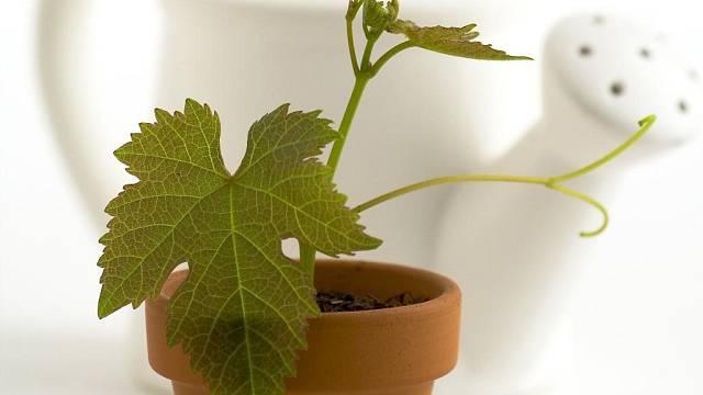 Sehnat sazenici vinné révy není problém, problém je zvolit vhodný druh, aby se jí na místě, kde ji plánujeme pěstovat, dobře dařilo.