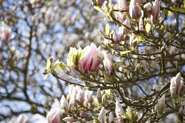 Magnolie je prastarý rod. Vyvíjel se už předtím, než se objevily včely a květy jsou proto vyvinuté k opylování brouky.