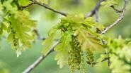 Pyloví alergici by si měli dávat pozor i na rozkvetlé duby.